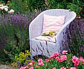 Weißer Korbsessel in Lavandula 'Hidcote Blue' (Lavendel)
