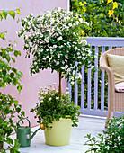 Solanum rantonetti 'Album' (Weißer Enzianbaum) unterpflanzt