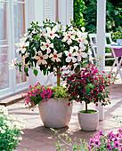 Hibiscus rosa-sinensis (Roseneibisch), Bougainvillea