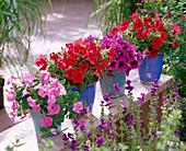 Petunia Easy Wave 'Pink', Surfinia 'Patio Red', Sunpleasure