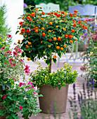 Lantana 'Sunkiss' (Wandelröschen) unterpflanzt mit Abelia