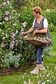 Hibiscus syriacus 'Woodbridge' (Gartenhibiscus), Frau schneidet Alcea