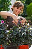 Frau entfernt verblühte Blüten von Dahlia (Dahlie)