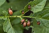 Leptinotarsa decemlineata (Larven vom Kartoffelkäfer)