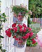 Rosa 'Gärtnerfreude' (Bodendeckerrose) von Kordes, öfterblühend,