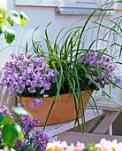 Nemesia Karoo 'Soft Blue' (Elfenspiegel), Carex morrowii