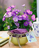 Campanula carpatica 'Blaue Clips' (Karpatenglockenblume)