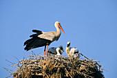 Wothe : Ciconia ciconia (Weißstorch) mit Jungstörchen auf dem Nest