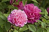 Rosa 'Zéphirine Drouhin', syn. 'Belle Dijonnaise', 'Charles Bonnet',