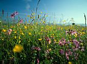 Blumenwiese mit Lychnis flos - cuculi (Kuckucks - Lichtnelke), Ranunculus acer syn Ranunculus acris (Scharfer Hahnenfuß), Himmel