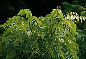 Cinchona officinalis syn Cinchona calisaya (Chinarindenbaum, Fieberrindenbaum, Chininbaum) in Sansibar / Afrika, Laub