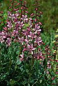 Dictamnus albus (Diptam, Brennender Busch)