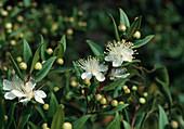 Blüten von Myrtus communis (Myrte), Südfrankreich