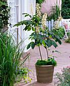 Aesculus parviflora (Strauch - Rosskastanie), Sagina (Sternmoos)