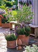 Olea europaea (Olivenbaum), Lavandula Hidcote 'Dark Blue' (Lavendel)