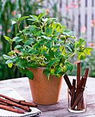 Ocimum basilicum 'Cinnamomum' (Zimt - Basilikum)