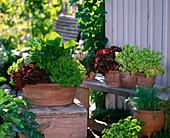 Lactuca (Salat), verschiedene Pflücksalate in Terracotta
