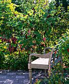 Rhus typhina (Essigbaum), Polygonum amplexicaule 'Atropurpureum'