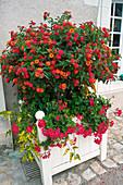 Lantana (Wandelröschen) unterpflanzt