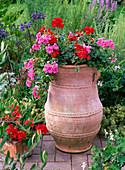 Pelargonium peltatum 'Amethyst', zonale pac Little Lady 'Scarlet'