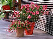 Nerium oleander 'Papa Gambetta' (Oleander), Diascia Breezee