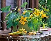 Cucurbita (Zucchini) blühend im Balkonkasten