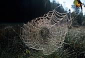 Wothe : Spinnennetz einer Araneidae (Radnetz - Spinne) mit Tau