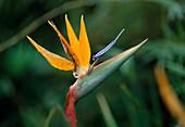 Wothe : Strelitzia reginae (Strelitzie, Paradiesvogelblume)