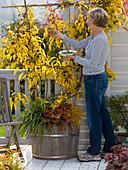 Actinidia arguta 'Issai' (Kiwi, Stahlengriffel) in Herbstfärbung