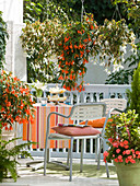 Begonia Summerwings 'White' 'Orange' (Hängebegonien)