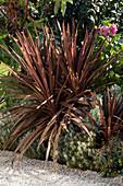 Cordyline australis 'Red Star' (Keulenlilie), Helichrysum italicum