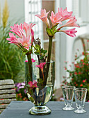 Intensiv duftende Blüten von Amarcrinum (Gartenamaryllis)
