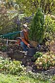 Mann pflanzt Thuja 'Smaragd' (Smaragd - Lebensbaum)