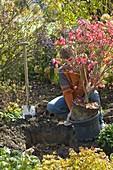 Mann pflanzt Euonymus alatus (Spindelstrauch)