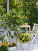 Gelb - weißer Balkon mit Abutilon (Schönmalve), Petunia (Petunie)