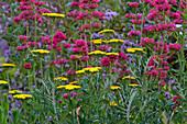 harmonischer Farb-Mix aus gelben Achillea (Schafgarbe) und purpurfarbener Centranthus (Spornblume), Pflanzenkombi, Paar