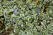 Vinca major 'Variegata' (Großes Immergrün) mit panaschierten Blättern