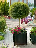 Ligustrum (Ligusterstämmchen) in Classic Garden Element