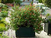 Salvia microphylla (Johannisbeer - Salbei)