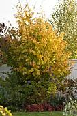 Herbstbeet vor Sichtschutzwand