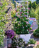 Kübel bepflanzt mit Phaseolus (Bohnen), Ipomoea (Prunkwinde)