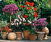 BOUGAINVILLEA GLABRA,NERIUM Oleander,PELARGONIUM,
