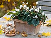 Cyclamen hederifolium 'AmazeMe' (Efeublättriges Alpenveilchen)