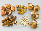 Tableau mit Zwiebeln von Frühlingsblühern