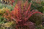 Berberis thunbergii 'Atropurpurea' (Berberitze) in Herbstfärbung