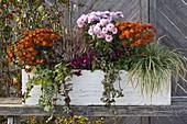 Chrysanthemum 'Titane' 'Lilac-Pink' (Herbstchrysanthemen)