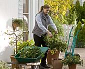 Kübelpflanzen vor dem Einräumen etwas zurückschneiden