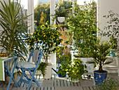 Wintergarten mit Yucca 'Variegata' (Yuccapalme), Abutilon