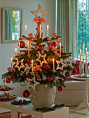 Abies nordmanniana (Nordmanntanne) als lebender Weihnachtsbaum