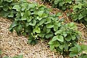 Fragaria (Erdbeeren) gemulcht mit Stroh